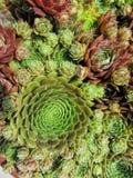 Kippen en Kuikens Succulente Installaties stock fotografie
