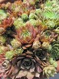 Kippen en Kuikens Succulente Installaties royalty-vrije stock foto's