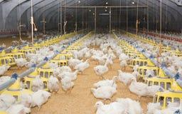 Kippen. Gevogeltelandbouwbedrijf Stock Foto