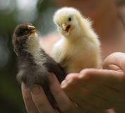 Kippen in handen Stock Foto