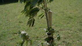 Kippen herauf Schuss einer Jungpflanze im starken Wind stock video