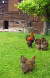 Kippen in het dorp stock fotografie