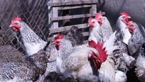 Kippen in het dorp Kippen die gras in de werf eten stock footage
