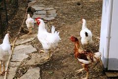 Kippen in het landbouwbedrijf in het zuiden van Italië stock fotografie