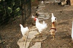 Kippen in het landbouwbedrijf in het zuiden van Italië royalty-vrije stock afbeeldingen