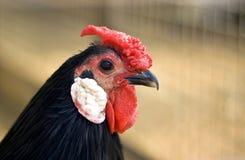 Kippen hoofdclose-up Royalty-vrije Stock Afbeeldingen