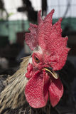 Kippen, kippen, een close-upgezicht Stock Foto's