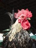 Kippen, kippen, een close-upgezicht Royalty-vrije Stock Afbeeldingen