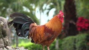 Kippen, Kippen, Vogels, Dieren stock video