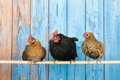 Kippen in kippenhok Stock Afbeelding