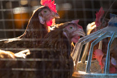 Kippen in landbouwbedrijf Stock Afbeeldingen