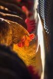 Kippen in landbouwbedrijf Stock Afbeelding