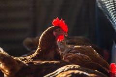Kippen in landbouwbedrijf Royalty-vrije Stock Fotografie