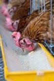 Kippen in landbouwbedrijf Stock Foto's