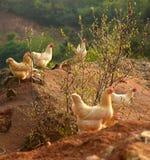 Kippen op boerenerf Royalty-vrije Stock Afbeeldingen