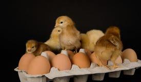 Kippen op Dozijn Eieren Stock Afbeeldingen