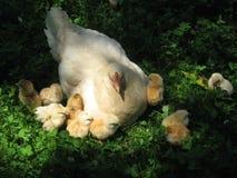 Kippen op gras Royalty-vrije Stock Afbeeldingen