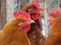 Kippen op het gevogeltelandbouwbedrijf royalty-vrije stock afbeelding
