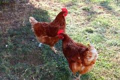 Kippen op het gras in landbouwbedrijf royalty-vrije stock fotografie