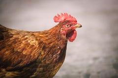 Kippen op het traditionele vrije landbouwbedrijf van het waaiergevogelte Stock Afbeelding