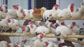 Kippen praktisch onbeweeglijke zitting op polen in ruimte op gevogeltelandbouwbedrijf stock footage