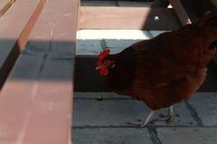 Kippen rond landbouwbedrijf stock foto's