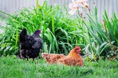 Kippen in tuin Bruine en zwarte kip op aard op een summe Royalty-vrije Stock Afbeeldingen