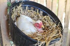 Kippen Uitbroedende Eieren Royalty-vrije Stock Fotografie