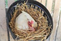 Kippen Uitbroedende Eieren Royalty-vrije Stock Foto's