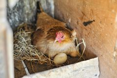 Kippen Uitbroedende Eieren Royalty-vrije Stock Afbeelding