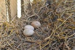 Kippeneieren in landbouwbedrijf Royalty-vrije Stock Afbeeldingen