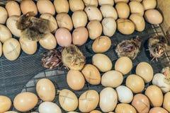 Kippeneieren met het uitbroeden van kleine kippen in een incubator Royalty-vrije Stock Foto's