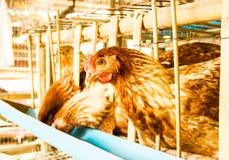 Kippenlandbouwbedrijf stock afbeeldingen