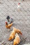 Kippentroep op binnenplaats Royalty-vrije Stock Afbeeldingen