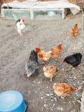 Kippentroep op gevogeltewerf Royalty-vrije Stock Afbeelding