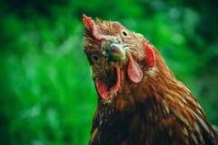 Kippenvoer op het traditionele landelijke boerenerf bij zonnige dag Detail van kippenhoofd Kippen die in kippenhok zitten Sluit o Stock Fotografie