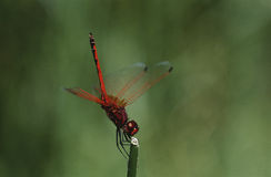 Kirby's Dropwing dragonfly on stem close up Stock Image