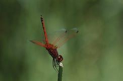 Kirbys Dropwing-Libelle auf Stammabschluß oben Stockbild