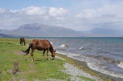 Kirghiz horses. At the song kul lake at 3000m altitude Stock Photo