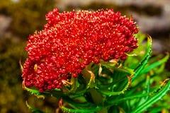 Kirilowii vermelho do rhodiola da flor imagem de stock