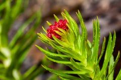 Kirilowii vermelho do rhodiola da flor fotografia de stock royalty free