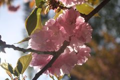 Kirin Sakura Cherry Blossoms New England Foto de archivo