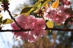 Kirin Sakura Cherry Blossoms New England Fotos de archivo libres de regalías