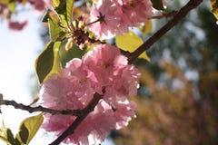 Kirin Sakura Cherry Blossoms New England Imagen de archivo libre de regalías