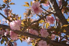 Kirin Sakura Cherry Blossoms New England Fotografía de archivo libre de regalías