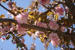 Kirin Sakura Cherry Blossoms New England Fotos de archivo