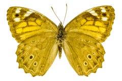 Kirinia roxelana (Lattice Brown). Dorsal view of Kirinia roxelana (Lattice Brown) butterfly isolated on white background royalty free stock photos