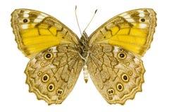 Kirinia roxelana (Lattice Brown). Ventral view of Kirinia roxelana (Lattice Brown) butterfly isolated on white background royalty free stock photo