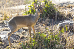 KIRK'S DIK-DIK male standing among the bushes Stock Photo
