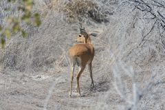 Kirk Dik-dik Royalty Free Stock Photos